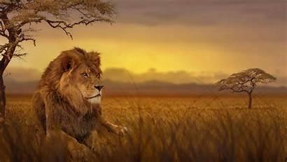 4k African Savannah Lion Africa Animal Uhd