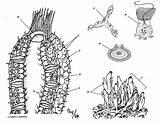 Sponge Coloring Phylum Porifera Pages Anatomy Sheets Sheet Colouring Sponges Ocean Biology Biologycorner Worksheets Worksheet Spicules Sea Animal Marine Kingdom sketch template
