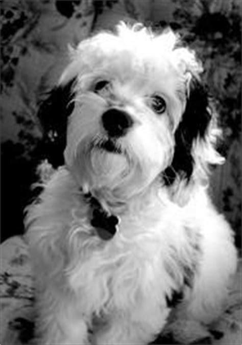 152 best Cockapoo images on Pinterest   Doggies, Dog cat