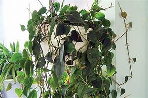Plante Intérieur Grimpante : la plus facile des plantes d 39 int rieur larry hodgson jardiner ~ Louise-bijoux.com Idées de Décoration