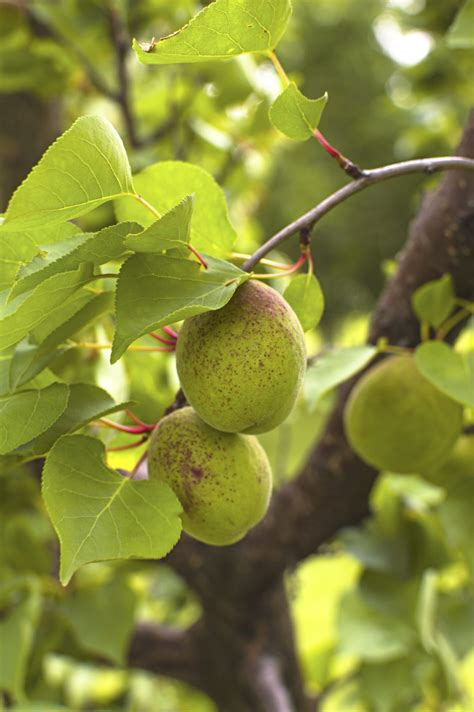 Thinning Apricot Trees - When And How To Thin Apricot Fruit