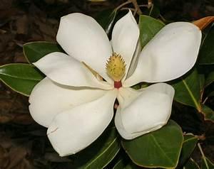 Fleur De Magnolia : semis de magnolia les jardins de ga a ~ Melissatoandfro.com Idées de Décoration