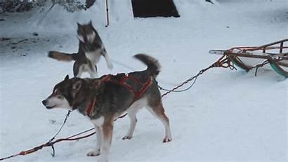 Husky Finland Huskies Safari Imgur Excited Starting