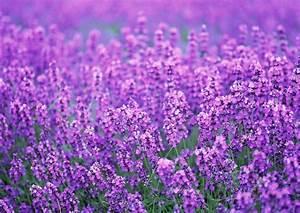 Purple, Flower, Wallpaper, Hd