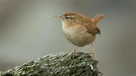 the rspb birds by family wrens