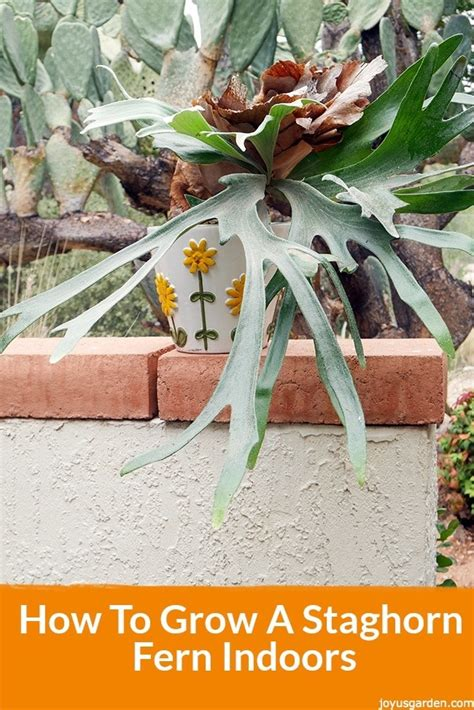 how to plant a staghorn fern in a hanging basket how to grow a staghorn fern indoors