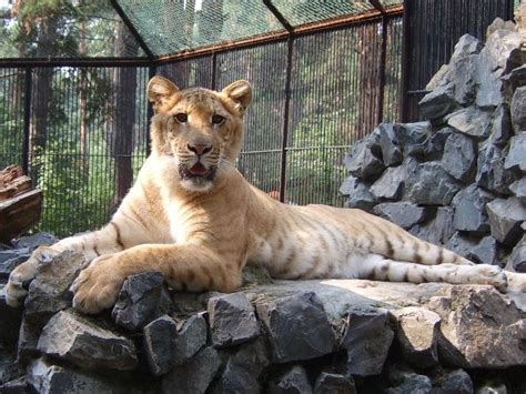 Liger Pictures & Wallpapers