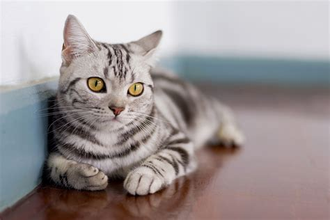 Shorthair Cat by American Shorthair Cat Breed Information