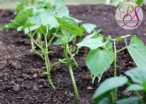 green bean plant raised garden update positively splendid crafts sewing recipes and home decor