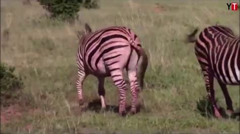 unbelievable zebra attack baby   born wild life