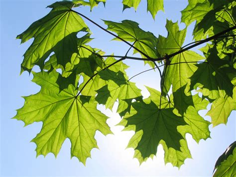 different maple tree leaves maple tree varieties information about maple tree identification