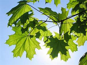 Maple Tree Varieties: Information About Maple Tree ...
