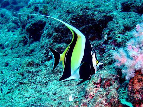 filepennant coralfish mauritiusjpg wikimedia commons