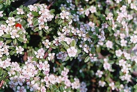 szkolka drzew  krzewow ozdobnych cotoneaster dammeri