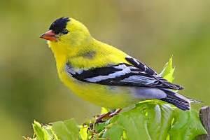 Washington state bird, male Goldfinch, San Juan Island, Washington. Washington