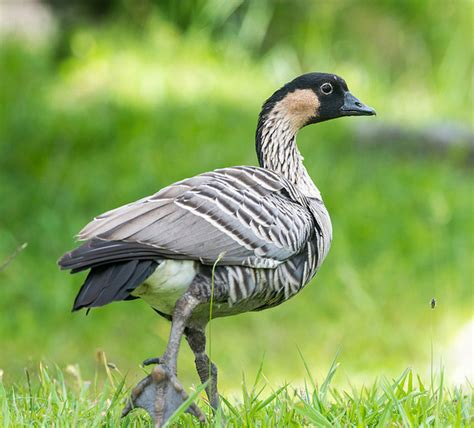 hawaii state bird nene