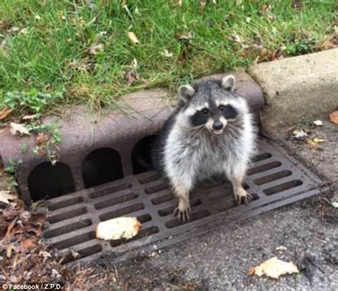 owning a raccoon raccoon so fat it had to be rescued after getting stuck daily mail online