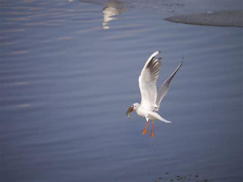Il Gabbiano Uccello by Immagini Mare Acqua Natura Ala Uccello Marino