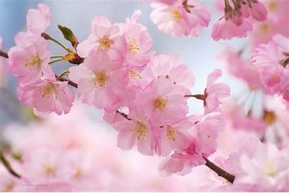 Blossom Cherry Blossoms Wallpapers Sakura Anime Backgrounds