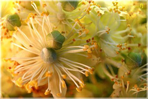 floare de tei 2 | florijianu.multiply.com/video/item/89/We_n… | Flickr