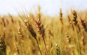 Wheat Field | FOODS