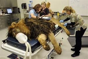 Tsavo the lion receives treatment to remove orange size ...