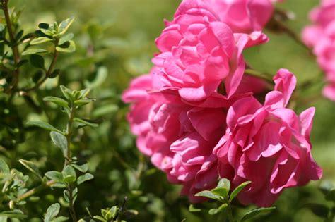 So Finden Sie Die Passende Rosensorte by Die Sch 246 Nsten Rosensorten F 252 R Ihren Garten Zuhausewohnen