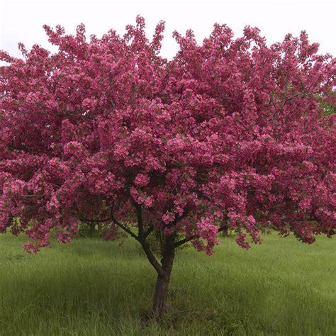 crab trees crabapple red splendor malus red splendor schumacher s nursery berry farm