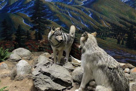 Wolf To Woof Celebrates Mans Best Friend Daily Press