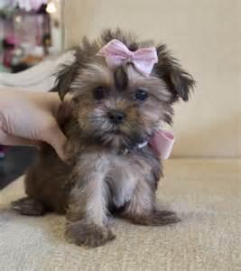 Tiny Teacup Shorkie Puppies