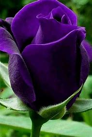 Most Beautiful Dark Purple Roses