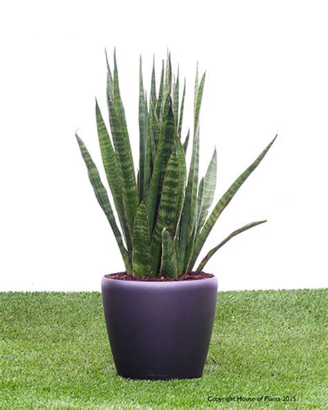 sansevieria watering star sansevieria in a 28cm quadro or classico self watering container house of plants