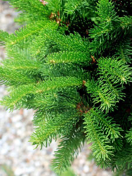 norway spruce  sale treetimeca