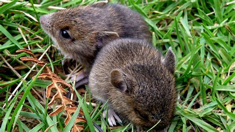 We offer the highest quality liquid and granular natural fertilizers on the market. Voles - Control Methods - Omaha Organics - Turf Recommendation