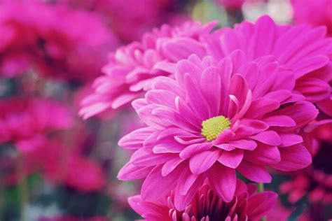 Flowers provided an incredibly nuanced form of communication. Pink Flowers Meaning - Flower Meaning