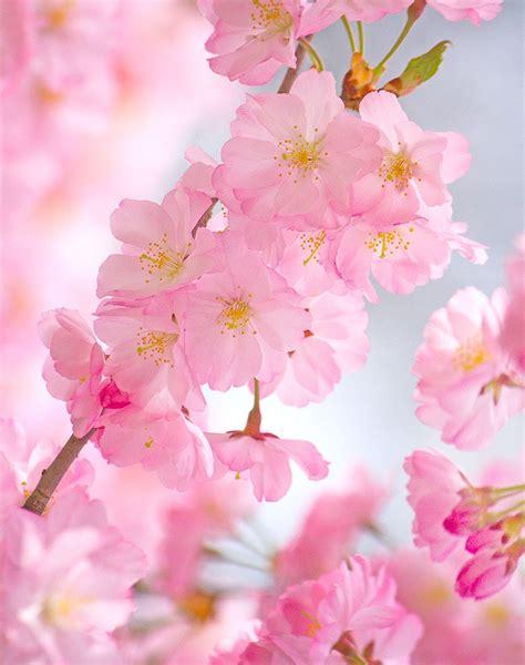 Branch Brook Park Cherry Blossom Festival 2019