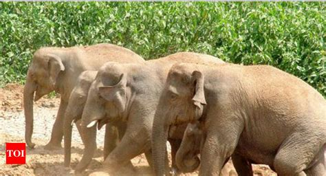 wildlife biologists elephant census  map  migration