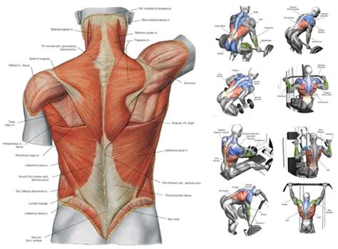 The deltoid muscle (derived its name from the greek letter delta) is a large, triangular muscle occupying the upper arm and the shoulder giving it this rounded shape. Male Back Muscles Chart / Muscles german names chart ...