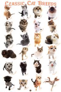 common cat breeds tips for your lovely cats a look at cat breeds