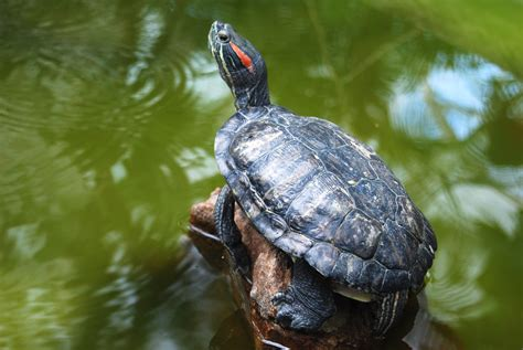 ear turtle feeding red eared sliders care and diet