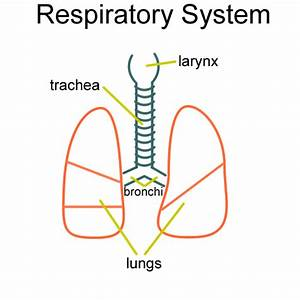 Respiratory System Sketch At Paintingvalley Com