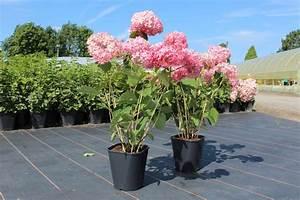 Hortensie Im Topf : hortensie schneeballhortensie 39 pink annabelle 39 ~ A.2002-acura-tl-radio.info Haus und Dekorationen