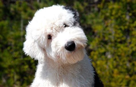 bobtail carattere  informazioni sulla razza canina britannica