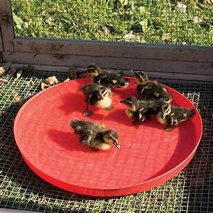 Heavy 16 Feeding Chart Chick Tray Premier1supplies