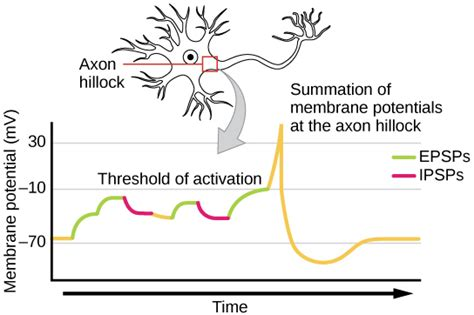 neurons communicate voer