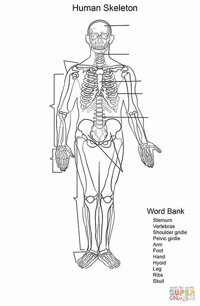 Skeleton Skelett Worksheet Esqueleto Humano Coloring Arbeitsblatt