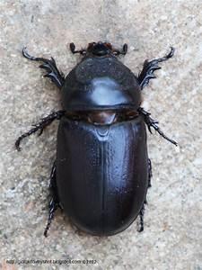 Coconut Rhinoceros Beetle (Oryctes rhinoceros), Sumatra ...
