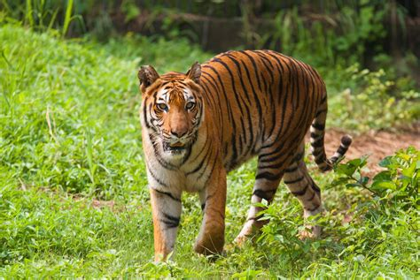 Where See Bengal Tigers The Wild