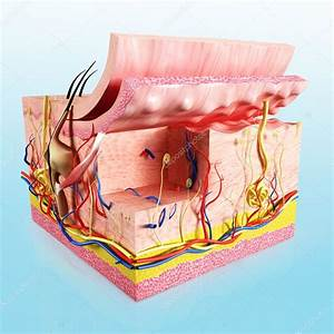 Human Skin Cut Way Diagram  U2014 Stock Photo  U00a9 Pixologic  13802893