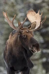 Canadian Moose | Mooses